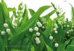 Lily of the Valley, duftige, wei�e Maigl�ckchen im Fr�hling als Fototapete