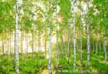 Sunday, erfrischender Birkenwald im Sonnenschein