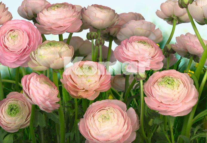 Gentle Roses, rosa Ranunkeln - bei Klick zurück zur Motivübersicht