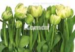 erfrischendes Motiv mit weißen Tulpen, gute Laune Gewährleistung