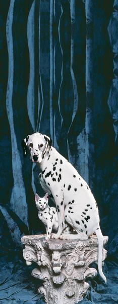 Dalmatiner, schwarz+weiss auf vier Pfoten - bei Klick zurück zur Motivübersicht