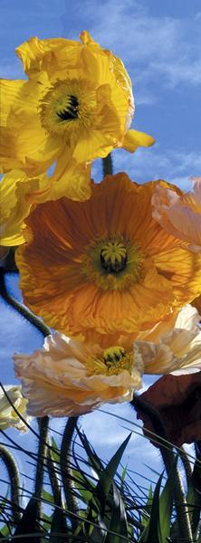 Kornblume, die Blume des Sommers - bei Klick zurück zur Motivübersicht