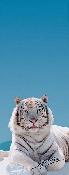 Tiger, der weisse Tiger von Siegfried und Roy - bei Klick zurück zur Motivübersicht