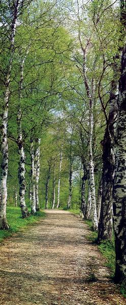 Waldweg, Birkenallee - bei Klick zurück zur Motivübersicht