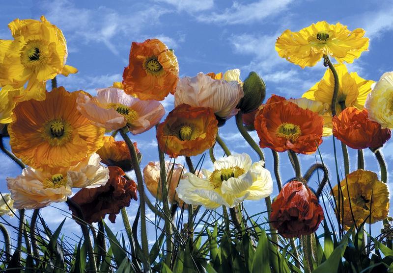 Mohnblumen, Poppy, Sommerfeeling - bei Klick zurück zur Motivübersicht