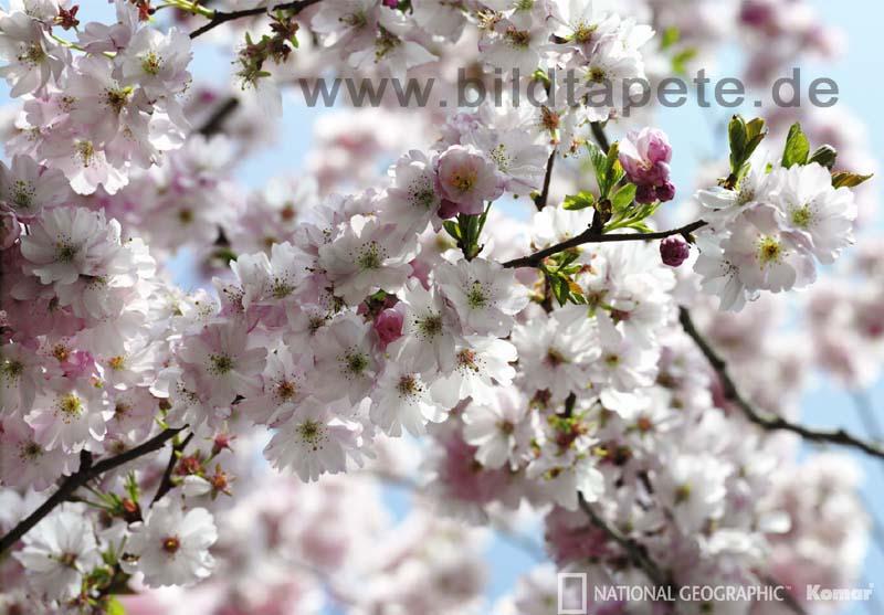 SPRING, Cherrytree, Kirschblüte im Frühjahr - bei Klick zurück zur Motivübersicht