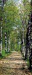 Türtapete Waldweg - bei Klick Artikelbeschreibung