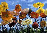 Fototapete Mohnblumen - Poppy - bei Klick Artikelbeschreibung