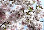 Fototapete SPRING, Kirschblüte im Frühjahr - bei Klick Artikelbeschreibung