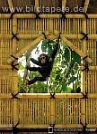 Fototapete TREEHOUSE, eine Hommage an die Anthropologin Jane Goodall, Schimpanse vor dem Fenster - bei Klick Artikelbeschreibung